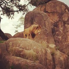 Lion at Kilamanjaro Safari usually dobt get this good of a picture
