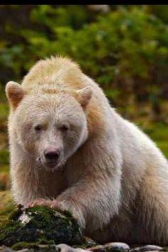 Kermode Bear(spirit)