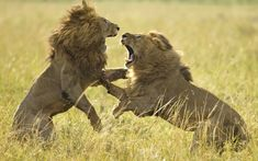 Photographer Paul Goldstein managed to capture this fight between two adult male lions on the plains of the Masai Mara in Kenya. Rivals known locally as Scarface and Black Mane went claw-to-claw to win the affections of a female.