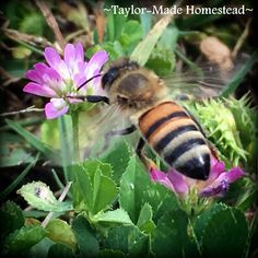 Ever since beginning our beekeeping endeavor, I can no longer just merrily bounce across the grass. Now I'm taking very deliberate steps to assure I don't step on one of our honey-makers! #TaylorMadeHomestead