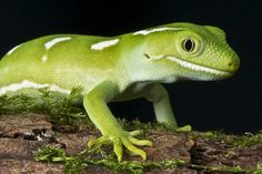 The Auckland Green Gecko is a day active lizard species found only in New Zealand.