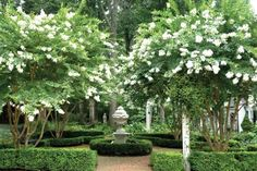 beautiful gardens ~ crepe myrtle trees