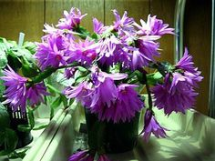 Easter Cactus Rhipsalidopsis wood cactus - photos, directory and search engine for decorative garden flowers and plants, efficient search over the set of parameters.