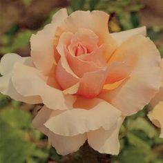 Just Joey Hybrid Tea Rose.....My favorite.....