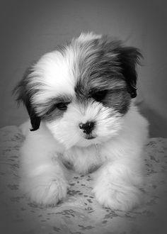 """""""Molly"""" - Shih Tzu Puppy #4"""