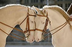 These beautiful Cremello or Champagne colors are often times mislabeled as albino, however there are no true albino horses. What adds to the confusion, is the registry data of certain equine organizations who also use the term albino. A number of breeds share these beautiful pale colors. ♥