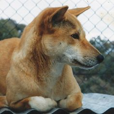 Dingo Lady: Dingoes, Dogs and Sheep