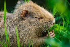 Nutria Beavers, Pictures, Animals, Photos, Otters, Taxidermy, Rare Animals, Nature, Animales