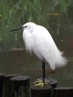 Egretta garzetta/Little egret/コサギ/resident bird