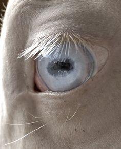 cremello akhal teke (white horse with blue eyes)