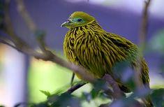 Golden fruit Pigeon
