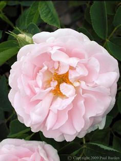 "Rosa alba 'Great Maiden's Blush' (Alba incarnate) - 2"" double, blush-pink flowers and grey-green foliage; flowers have nearly perfect form, perfect for cutting; 6'x5'; Z4."