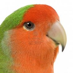 Peach-faced Lovebird - Love this picture because it's true, they actually have brown eyes. You can only see it in the light though. Otherwise they look black.