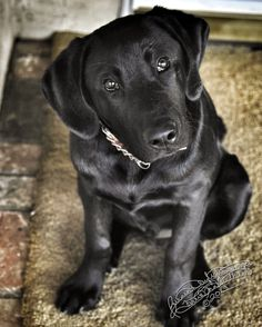 this looks like one of my dogs.. his name is Shadow, he is a black lab..