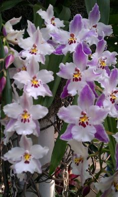 A maior exposição de Orquídeas dos EUA                                                                                                                                                                                 Mais