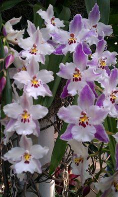 A maior exposição de Orquídeas dos EUA