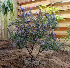 Ceanothus 'Dark Star'. heat and drought tolerant shrub to small tree up to 6' tall x 8' wide. zones 7-10 CA native. full sun, small shiny dark green evergreen leaves