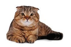 Did you know that the same gene that causes folded ears in #ScottishFold #cats can also cause osteochondrodysplasia, resulting in deformed limbs and sometimes a deformed tail?