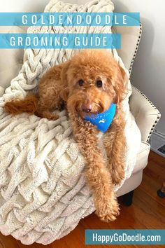 """Goldendoodle grooming at home? Here's my step-by-step """"recipe"""" for happier brushing, grooming, bathing, and trimming. Goldendoodle Haircuts, Goldendoodle Grooming, Puppy Grooming, You Doodle, Doodle Dog, Creative Grooming, Kong Toys, Puppy Cut, Young Wedding"""