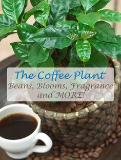 All about the coffee plant, including how to grow your own coffee beans indoors and how to prepare them for fresh, home brewed coffee.