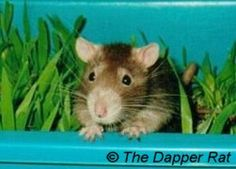 5. Newspaper - make your rats a tent out of newspaper, place them inside and watch them enjoy it. They'll shred the paper and drag it all ...