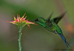 Puerto Rican Emerald Hummingbird- Chlorostilbon maugaeus- a male at Guanica State Forest visiting a star shaped flower from a vine.