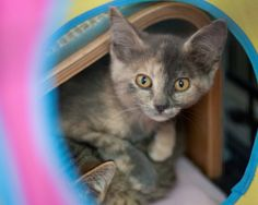 Spitfire is an adoptable Dilute Tortoiseshell Cat in Omaha, NE. she was named this because when she was first captured all she would do is hiss and spit at you. She will still hiss every now and again...