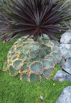 """Echeveria Imbricata with Dyckia 'Cherry Cola' Delicious, 6"""" wide, pearly aqua-blue rosettes edged in pink. They multiply by offsets within a year spreading into a to-die-for rounded mound to 14"""" tall and 30"""" across, transforming into a highly useful groundcover (shown here with Dyckia 'Cherry Cola',). Summer brings arching, rosy stems and little bells. Provide good drainage, a bit of annual compost"""