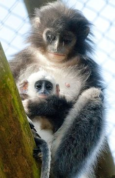 Primate keepers at Howletts Wild Animal Park near Canterbury have welcomed a very special new arrival to their family of Grizzled Leaf Monkeys. The baby was born on February 14 to mom Juleha and has been named Asmara by her doting keepers.
