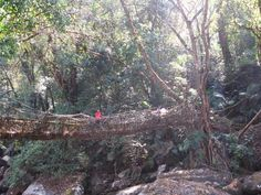 Tree Roots, Bridges, Google Search, Nature, The Great Outdoors, Mother Nature, Scenery, Natural