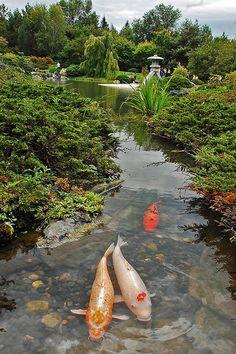 Montreal Botanical Garden, 'Japanese Garden', in Quebec/Canada. Beautiful Fish, Beautiful Gardens, Beautiful Places, Montreal Botanical Garden, Botanical Gardens, Carpe Koi, Montreal Ville, Montreal Quebec, Ponds Backyard