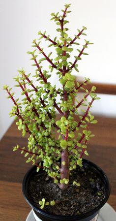 "Spekboom – Portulacaria Afra – what I like to call ""the magical carbon-trap tree"" Jade Bonsai, Succulent Bonsai, Bonsai Plants, Cacti And Succulents, Planting Succulents, Cactus Plants, Low Light Plants, Jade Plants, Home Garden Design"