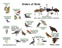 Bird Groups (Orders)