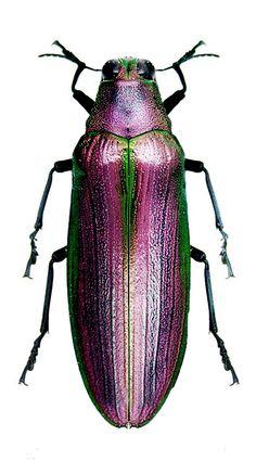 Megaloxantha purpurescens