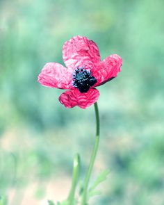 Pink Poppy photo - Nature photography wild flowers Affordable mint home decor on Etsy, $10.00