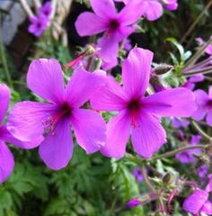Geranium palmatum is a clump forming perennial with large , deeply divided, architectural palm like leaves. It bears luxurious, small magenta flowers on upright, wiry stems throughout… Bee Friendly Plants, Magenta Flowers, Astrantia, Hardy Perennials, Geraniums, Palm, Garden, Stuff To Buy, Delivery