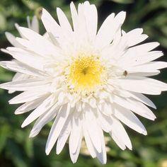 LEUCANTHEMUM 'Christine Hagemann' (Marguerite d'été) : Les variétés sont souvent des améliorations à grandes fleurs blanches, d'apparence variées, parfois doubles. Donnent d'excellentes fleurs à couper et les simples sont idéales en prairies fleuries ou jardins naturels. Grande fleur blanche semi-double, au cœur jaune citron entouré de petites ligules frisées.