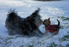 Bacon & Weezy #cairnterriers #mydogbacon