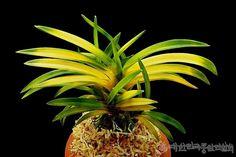 Neofinetia falcata 연교금(連翹錦)    한국풍란연합회 > 연합회등록품(안내) > 연교금(連翹錦).