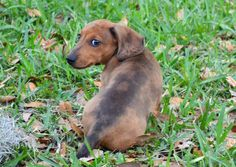 "Sookie the Dachshund: ""This is either my 'come hither', or my 'I didn't do it' expresson. You choose."""