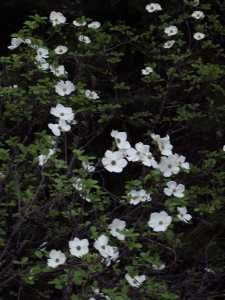 Dogwood in the Forest.
