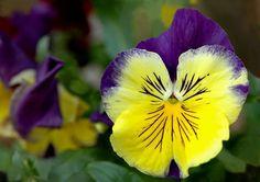 Resultado de imagen para flores de pensamientos para colorear