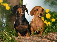 Dachshund dog breed is also known as the hot dog dog wiener dog or sausage dog due to its long and narrow build. Read on to know more about Dachshund dogs.