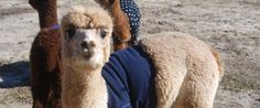 Baby Alpacas Wearing Sweaters Will Give You Something To Smile About This Winter (PHOTOS)
