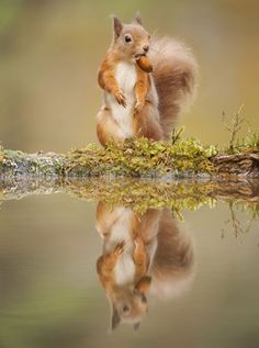 Red squirrel (Sciurus vulgaris) at woodland pool, feeding on nut, Scotland.