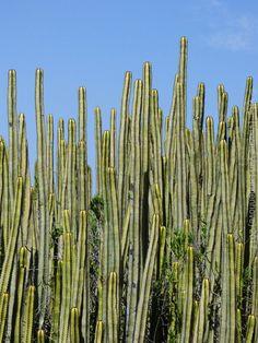 "To change from the Wednesday flowers, sharing some cactus from Gran Canaria. Pour changer des fleurs du mercredi, je partage quelques cactus de Gran Canaria. ""The world is full of cactus but we don't have to sit on it."" ""Le monde est plein de cactus, mais on n'est pas obligé de s'asseoir dessus."" Will Foley  More Photos on www.vise.pictures  #NaturePhotography #Cactus #GranCanaria @GranCanLocal @CanaryIslandsEN #Travel #nature @turismogc #pictures #topVISE"