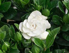 Plants, Flowers, Gardenia, Rose, Garden, Alstromeria