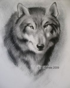 Wolf Drawing - How to Draw a Wolf