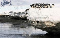 Tirándose al mar en Brown Bluff, en el extremo norte de la Península Antártica. Imagen de Martha de Jong-Lantink
