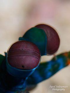 Super macro photo - Mantis Shrimp eyes.